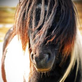 Wild Shetland Pony by Sara Sawatzki - Animals Horses ( horse, shetland islands, shetland pony, animal )