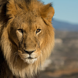 African Lion staring  by Joe Neely - Animals Lions, Tigers & Big Cats ( king of the jungle, lion, african lion, african lion staring, lion eyes )