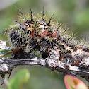 Saturnid Moth caterpillars