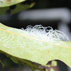 White Fibrous Lerp Insects