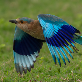 Roller by Jineesh Mallishery - Animals Birds