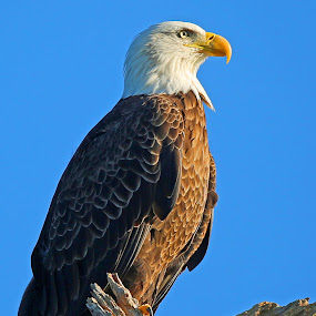 Majestic Anclote Eagle by Anthony Goldman - Animals Birds ( bird, wild, eagle, nature, anclote river, bald,  )