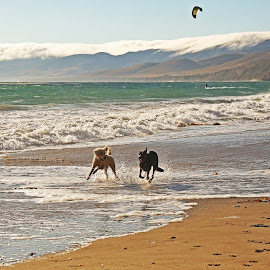 Fun on the beach by Madeleine Wilson - Animals - Dogs Running ( playing, jalama, california, beach, dog, sun, animal,  )