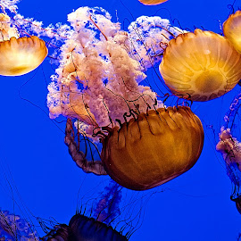 by Mike Woodard - Animals Sea Creatures ( monterey, blue, underwater, aquarium, san francisco )