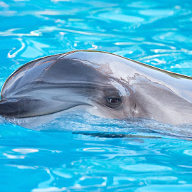 Dolphin by Yelena Zi Photography - Animals Other Mammals