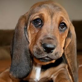 I'm a Hound Dog by Nikki Spencer - Animals - Dogs Puppies ( hound, puppy, basset hound, cute, young,  )