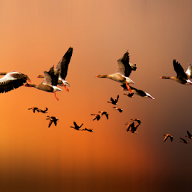 The Journey by Pieter Arnolli - Animals Birds ( flight, sunset, birds, goose )