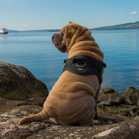PEACE  by Michael Sweeney - Animals - Dogs Portraits ( rescue dog, scotland, nikon d800, west coast scotland dog, michael m sweeney, nikon, sharpei. dog )