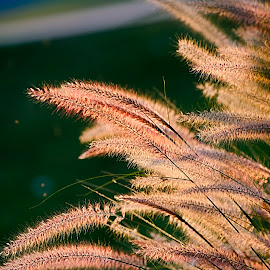 Weeds at sunset by Steve Forbes - Nature Up Close Leaves & Grasses