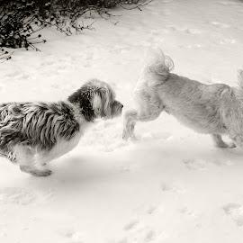 by Melanie Lachance - Animals - Dogs Running