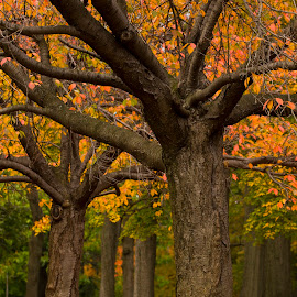 Fall Trees At Third Ward Park by Danny Caramia - City,  Street & Park  City Parks ( maple tree, tree, orange leaf, fall, orange leaves, trees, oak tree )