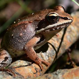 by Thomas Barr - Animals Amphibians