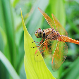 Ditch Jewel Dragonfly by Pritha Gupta Buxy - Animals Insects & Spiders ( macro, nature, nature up close, insects, dragonfly )