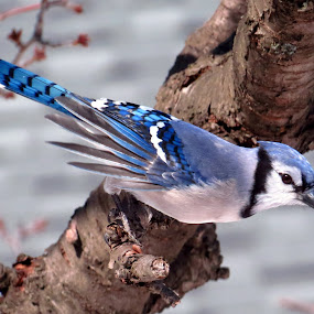 North American Blue Jay by Patti Hobbs - Animals Birds ( bird animals north american blue jay,  )