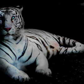 Blue Eyes by Vitor Mauad - Animals Lions, Tigers & Big Cats ( big cat, white tiger, blue eyes, dark background, animal )