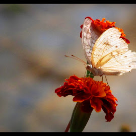 A Study of Butterfly, Part I by Surjya Chattopadhyay - Novices Only Macro