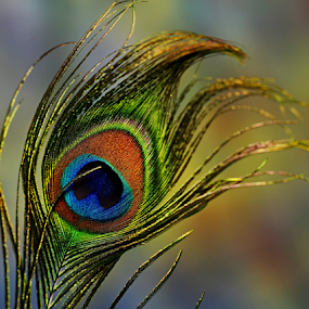 by Dipali S - Artistic Objects Other Objects ( bird, macro, artistic, artist, feather, closeup, peacock,  )