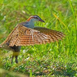 A Dancer Buff Banded Rail by Andi Albayquni - Animals Birds