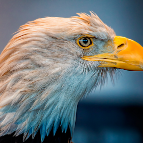 Eagle With an Attitude by Bill Tiepelman - Animals Birds ( bird, eagle, details, beak, bald eagle, feathers,  )