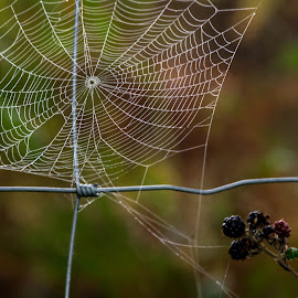 Fogweb & Blackberries by Adele Southall - Nature Up Close Webs (  )