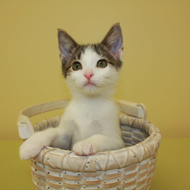 Amy by Sharon Scholtes - Animals - Cats Portraits ( kitten, cat, white, basket, brown, feline )