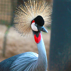 Crested Crane by Aamir Munir - Animals Birds