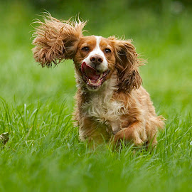 by James Blyth Currie - Animals - Dogs Running ( cockerspaniel, kensington gardens, park, london, hyde park, dog, running )