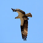 Osprey with Sargeant Major Spadefish