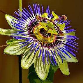 Mihai flower by Nikša Šapro - Flowers Single Flower