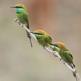 Green Bee-eaters by Sankaran Balaji - Animals Birds