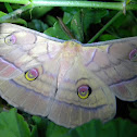 Japanese Silk Moth