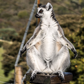 Lemur In Deep Relaxation by Dylan Barlow - Novices Only Wildlife ( north wales, colwyn bay, welsh mountain zoo, wales, lemur, cymru,  )