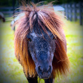 Mini's Bad hair day by Sue Delia - Animals Horses ( miniature horse, horse, hair,  )