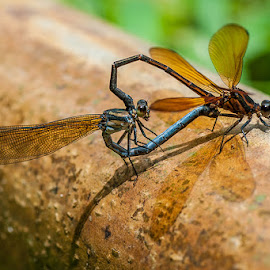 make love by Dhanu Wijaya - Animals Insects & Spiders