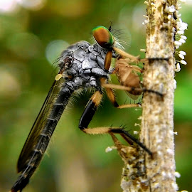 Robberfly  by Okan Okan - Instagram & Mobile Android (  )