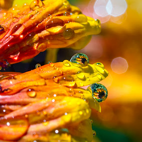 Blanket Flower Reflections in Water Drops by M Knight - Flowers Single Flower ( macro, reflections, blanket flower, water droplets, flower,  )