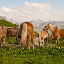 On the alp by Linda Brueckmann - Animals Horses (  )