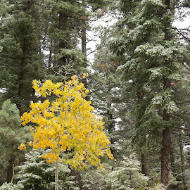 Little Yellow Tree by Hannah Maison - Landscapes Forests ( tree, snow, fall, decker,  )
