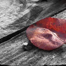 One of the Red by Endijs Gūtmanis - Nature Up Close Leaves & Grasses ( colourpop, red, creative, autumn, leaf )