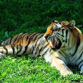 Tiger showing teeth at zoo by Alfonso de las Cuevas - Animals Lions, Tigers & Big Cats ( tigre, tiger, teeth, dientes )