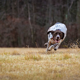 by Dan Lash - Animals - Dogs Running (  )