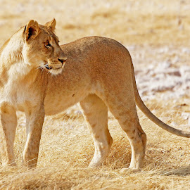 Lioness by Seppie Malherbe - Animals Lions, Tigers & Big Cats
