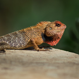 In all its glory! by Divya Sharan - Animals Reptiles ( nature, colors, prey, chameleon, camouflage )