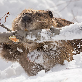 beaver carrying branch by Heather Diamond Ryan - Animals Other Mammals ( winter, tree, cold, dam, beaver, snow, branch )