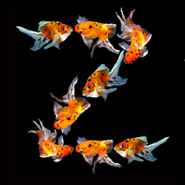 Goldfish Z by Janna Morrison - Typography Single Letters ( z )