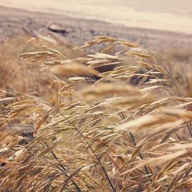 Beach grass by Michelle du Plooy - Nature Up Close Leaves & Grasses ( grasses, grass, landscape photography, beach, landscape )