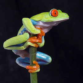 Agalychnis callidryas by Angi Wallace - Animals Amphibians ( colourful, frog, red eyed tree frog, pet, amphibian, agalychnis callidryas, cute )