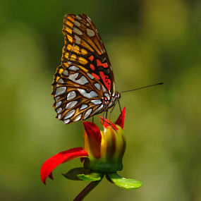 Butterfly and flower by Cristobal Garciaferro Rubio - Animals Insects & Spiders
