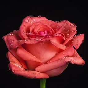 Rose with raindrops by Cristobal Garciaferro Rubio - Flowers Single Flower