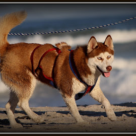 Husky At The Beach by Mandy Pannack - Animals - Dogs Playing ( playing, brown and white, husky, beach, sun )